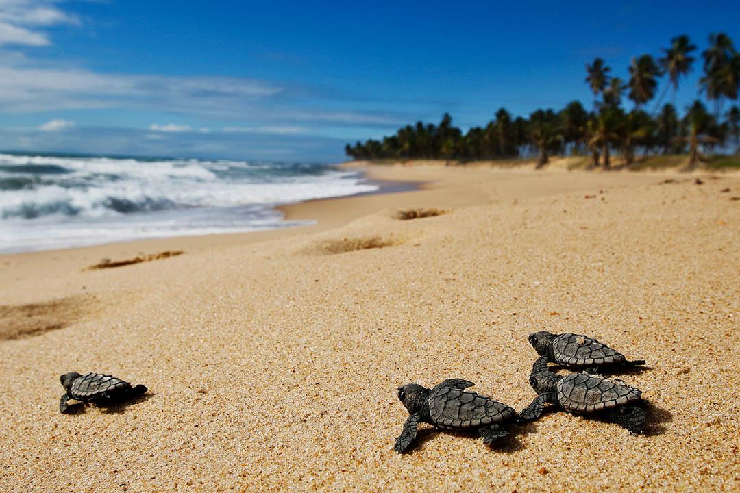 Extreme E sosterrà la protezione della tartaruga verde, specie in via di estinzione, e della tartaruga embricata che è in pericolo di estinzione